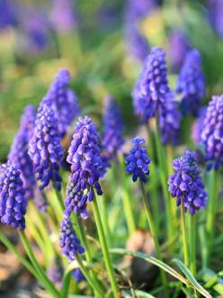 Grape Hyacinth        A beautiful spring-flowering bulb, grape hyacinths produce clusters of blue, purple, white, or yellow flowers in midspring.        Plant Name: Muscari selections        Growing Conditions: Sun or shade and well-drained soil        Si