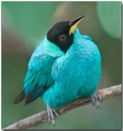 Green Honeycreeper, Singapore - by Douglas Janson. These birds are relatives of the tangers.: Animals, Poultry, Color, Birdie, Pretty Birds, Beautiful Birds, Douglas Janson