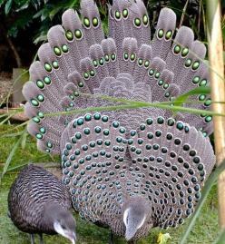 grey peacock pheasants  (photo by p.stubbs) subtle shade shot with electric dazzling dots & delightful design & patterns!!: Peacock Pheasants, Peacocks, Animals, Nature, Gray Peacock, Grey Peacock Pheasant, Beautiful Birds, Photo