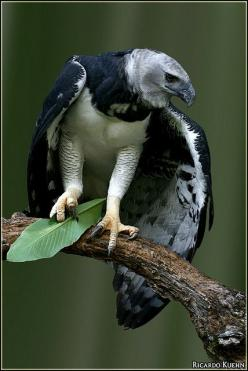 ~~Harpy Eagle (Harpia harpyja) by Ricardo Kuehn~~: Animals, Beautiful Birds, Eagles, Photo