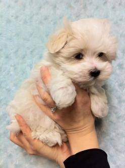 Havamalt- Havanese and Maltese mix. How adorable! Add the Yorkie and that is Cooper! Cutest puppy ever.: Havanese Maltese Mix, Sweet, Cutest Puppy Ever, Yorkie Maltese Mix Puppies, Puppys, Havamalt Puppies, Dog, Havamalt Havanese, Animal