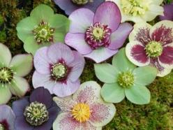 Helleborus/ Christmas rose. Very colorful for shade plants! Bloom in winter and early Spring. Frost-resistant and evergreen. The most popular hellebores for garden use are undoubtedly H. orientalis and its colourful hybrids (H. × hybridus).: Christmas Ros
