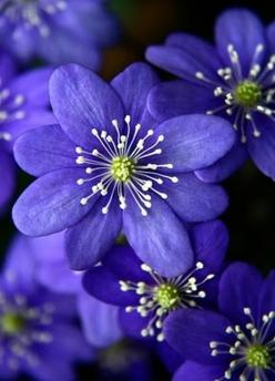 Hepatica - lovely looking flower I discovered.. such an intricate design :): Flowers Plants, Gorgeous Flower, Flower Power, Beautiful Flowers, Blue Flower, Flowers Garden, Flower, Purple Flower