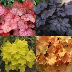 Heuchera...like coleus comes in a vibrant array of colours, only its a perrenial.  Try a garden with these and hosta and you have a showcase of colour!: Colour, Coral Bells, Heuchera Like Coleus, Gardens, Gardening, Flower