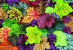 "Heucheras (Coral Bells), the ""new hostas"" for shady spots. So colorful! Choosebeststuff.blogspot.ca: Plants Srubs Trees, Gardening Plants Flowers, Plants Flowers Grasses, Coral, Outdoor Garden Plants, Plants Tree S Shrubs, Garden Flowers, Gardens"
