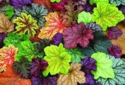 "Heucheras, the ""new hostas"" for shady spots. So colorful!  I like these!: Shade Plant, Garden Outdoor, Shade Garden, Shady Spot, Gardening Outdoor, Flowers Garden"