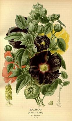 Hollyhock: Favourite flowers of garden and greenhouse,1896-97: Favourite Flowers, Greenhouse 1896 97, Botanical Prints, Botanical Illustrations, Gardens, Botanical Art, Vintage Botanical, Photo