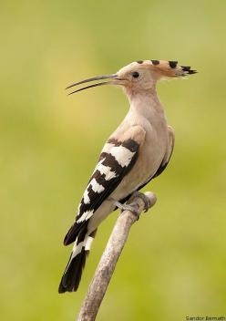 Hoopoe (Doesn't this bird look like he has an attitude?): Animals, Fowl, Nature, Color, Birdie, Beautiful Birds