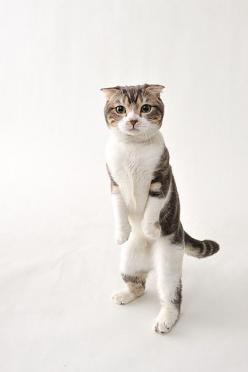 HOW DO YOU LIKE MY NEW WHITE  -- BOOTS-- (PAWS) (??) ………….I TRIED THEM WITH SPIKE HEELS - BUT KEPT FALLING OVER………ccp: Kitty Cats, Standing Kitty, Animals, Curious Cat, Feline, Walk
