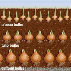 how layering bulbs at different depths can create ongoing display of color in the same plant container or flower bed.: Homestead Survival, Flower Bulbs, Continuous Blooming, Layering Bulbs