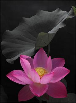 How lovely this is. I want to stare at it for the rest of the day.... --Pia (Lotus): Pink Flower, Color, Lotus Flowers, Beautiful Flowers, Pink Lotus, Tattoo, Water Lily, Water Lilies, Flower