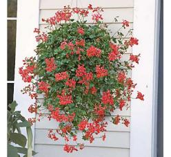 How to entertain with mosquito repelling plants | Four Generations One RoofFour Generations One Roof: Bug Repelling, Cascading Geranium, Mosquito Repelling Plants, Repellent Plant, Bug Repellent, Mosquito Repellant