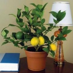 How to grow citrus indoors-lemons and limes. Would be cute in a kitchen: Grow Indoor, Houseplant, Meyer Lemon, Grow Citrus