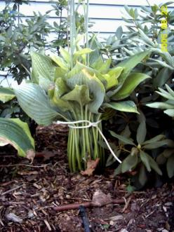 How to move hostas.  In all the years I've moved my hostas, I can't believe I've never done this!: Hosta Garden Ideas, Cant, Leafed Hosta, Shade Garden, Move Hostas, Hosta Plants, Moving Hostas