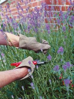 How to Prune Lavender - Cut back in Late Winter or early spring as close as possible to old wood without cutting into the old wood; leave a few healthy leaves above the brown stems (plants won't produce new shoots from old wood). In Late Summer after