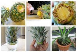 How to Regrow a Potted Pineapple ?  #diy #regrow #home idea: Ideas, Grow Pineapple, Food, Plants, Gardening, Tips, Diy