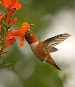 Hummingbird - Beautiful Colors: Humming Birds, Animals, Beautiful Colors, Beautiful Birds, Hummingbirds, Hummer
