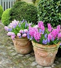 hyacinths and tulip bulbs planted in containers in the fall or purchased in bloom in the spring make gorgeous patio eye candy when we are needing it the most.: Container Gardens, Spring Flower, Garden Ideas, Outdoor, Tulip, Containergardening Smallspaces,