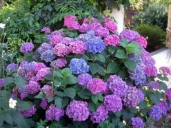 Hydrangeas are popular garden shrubs with delicate heads of flowers in ...mycottagegardens.com: Garden Ideas, Yard, Color, Beautiful, Plants, Gardening, Flowers, Favorite Flower, Hydrangeas