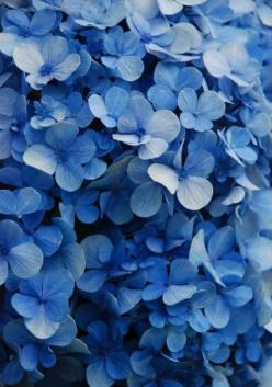 Hydrangeas. To get this effect, chop up some apples to add to the soil around it. The acid from the apples makes them bluer.: Colour, Blue Blue, Blue Hydrangeas, Beautiful Blue, Blue Flowers, Colors, Hydrangea, Garden, Photo