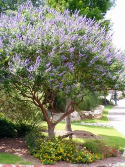 i absolutely love it..just have to trim the bottom branches out as it grows because it will grow down like a bush if you dont. Texas Lilac (Vitex).  They are hardy, drought tolerant, and the butterflies  bees love them.: Texas Lilac, Butterfly Bush, Nativ