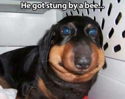 I can't stop laughing: Animals, Dogs, Stuff, Eat Bees, Poor Dog, Funny, Poor Thing, Poor Baby