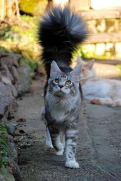 I have a fluffy tail and I'm not afraid to use it ..... back up slowly: Cats, Beautiful Cat, Animals, Kitty Cat, Maine Coon, Fluffy Tail, Kitty Kitty, Kitties, Coon Cat