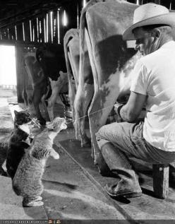 I hope this is real cause that is so funny!We did this when I was a youngun. its true-----: Farm, Photos, Cats, Picture, Fresh Milk, Animals, Funny, Kitty
