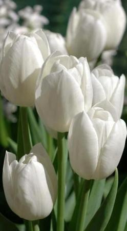 I know they are a simple country flower but I think a vase of white tulips is elegant and can look good anywhere! #sainsburysspringdreamhome: White Flowers, Beautiful White, White Tulips, White Garden, Beautiful Flowers, Tulip Flower, Flowers, Favorite Fl
