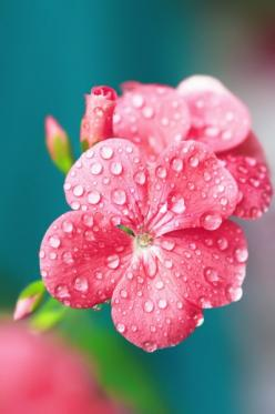 I love God's beauty!  I wonder what this pretty pink flower is called.  Beautiful photography :-): Pink Flowers, Beautiful Flowers, Raindrop, Dew Drops, Color Palette, Dewdrop, Garden, Pretty Flower