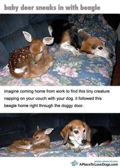 Imagine coming home from work to find this tiny creature napping on your couch with your dog.  It followed this beagle home right through the doggy door.....this is the cutest thing i have ever seen!: Doggie Door, Dogs Explains, Baby Creatures, Doggy Door