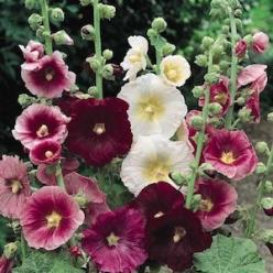 "INDIAN SPRING MIX  Hollyhock Seeds  Alcea rosea  View larger image    Large, single and semi-double flowers in shades of deep rose, pink, salmon-pink and white on 6-7 foot plants. Once known as ""Outhouse Hollyhocks"" because they were tall enough t"