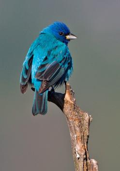 Indigo Bunting - one of the species spotted at HCC's Nalle Bunny Run Preserve: Indigo Buntings, Hcc S Nalle, Backyard Birds, Beautiful Birds, Species Spotted, Animal, Nalle Bunny