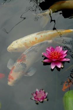 Japanese Koi Carps symbolize Goodluck, Longevity & Prosperity    Lotus symbolize Purity, Birth and Reincarnation: Lotus, Animals, Koi Fish, Koi Ponds, Koifish, Water Garden, Flower, Water Lilies