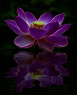 ~~ Joie de Vivre, Moon Light Reflections at Midnight, a glowing Lotus flower, one single petal touches the water ... ~~: Moon Light, Glowing Lotus, Purple, Lotus Flowers, Joy Of Life, Beautiful Flowers, Tattoo