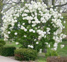 Just received notice that my Snowball Viburnum Bush has shipped.  :-)  Can't wait!: Chinese Snowball, Viburnum Bush, Snowball Viburnum, Flowering Shrubs, Front Yard, White Garden, Snowball Bush, Viburnum Opulus