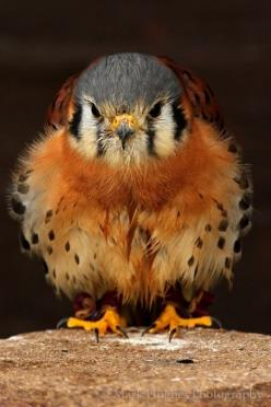 KkGBBA60.jpg - via: mareli72 - Imgend: Animals, American Kestrel, Baby Falcon, Beautiful Birds, Baby Kestrel, Photo