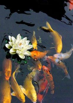 Koi pond    The perfect Koi Pond art at loftintileworks.com: Animals, Water Gardens, Koi Fish, Koi Ponds, Water Lily, Lotus Flower