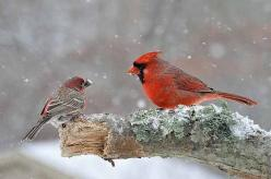 Learn how birds in winter are battling and surviving in extreme conditions, and find out what you can do to help.: Birds Birds, Birding Basics, Snow, Cardinal Birds, Birds Amp, Helping Birds, Awesome Animals, Winter Birds, Birds Cardinals