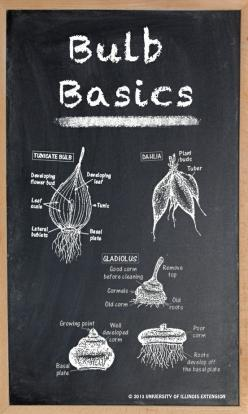 Learn your bulb basics.: Flowers Gardening Landscaping, Garden Bulbs, Flower Bulbs, Bout Bulbs, Flower Shrub Etc Gardening, Flowers Plants Assorted, Bulb Planting, Gardening Farm