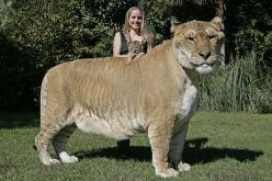 Liger - rare animal: Ligers, Wild, Animals, Big Cats, Animal Kingdom, Creatures, Tigers, Male Lion, Cross
