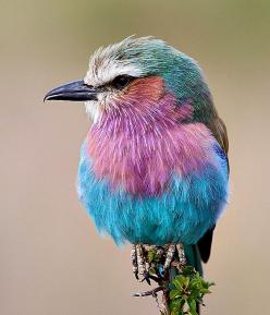 Lilac Breasted Roller. Birds. Birds. Birds.: Animals, Nature, Color, Beautiful Birds