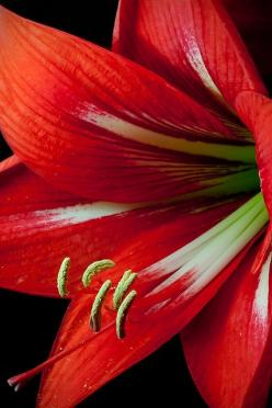 lily: Flowers Red, Red Flowers, Beautiful Flowers, Pretty Flowers, Garden, Photo