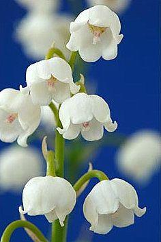 Lily of the Valley-Our Lady's Tears. These flowers are said to have blossomed from Mary's tears for her Son as she stood at the foot of the Cross.: Favorite Flowers, Lilies, Lily Of The Valley Flower, Beautiful Flowers, Bloom, Valley My Favorite,