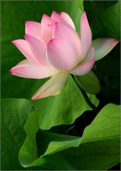 Lotus Flower IMG_3999: Flower Img 3999, Flowers Gardens Places, Lotus Flowers, Beautiful Flowers, Water Lily, Flowers For Garden