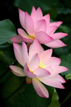 Lotus Flowers taken in Shing Mun Valley Park, Hong Kong. By Johnshlau: Flor De, Lotus Flowers, Photo Sharing, Beautiful Flowers, Pink Lotus, Water Lily, Water Lilies
