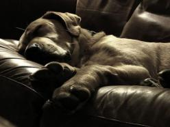 love dogs: Animals, Puppies, Dogs, Chocolate Labs, Puppy, Smile, Leather Couches, Friend