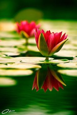 <3 Balboa Park is a 1,200 acre urban cultural park in San Diego, California.: Beautiful Flower, Reflection, Nature, Lotus Flowers, Waterlilies, Water Lily, Garden, Water Lilies, Flower