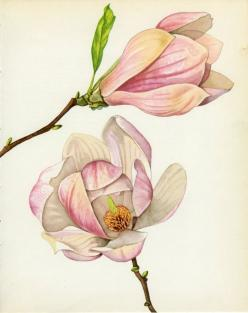 magnolia botanical print - Google Search: Botanical Illustration, Magnolias, Botanical Prints, Google Search, Magnolia Botanical, Botanical Art