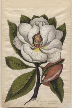 Magnolias in the American South are scented and therefore meanings include splendid beauty and magnificence.  In China, magnolia flowers are symbols of purity and nobility. In Japan, the magnolia is used as a medicinal and ornamental plant.  Magnolias are